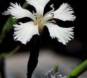 flower_white